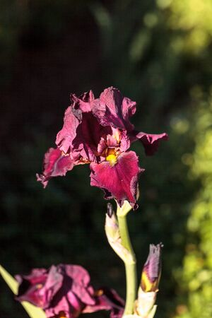 bearded iris: Deep blood red bearded iris also called Ida Red blooms in a botanical garden