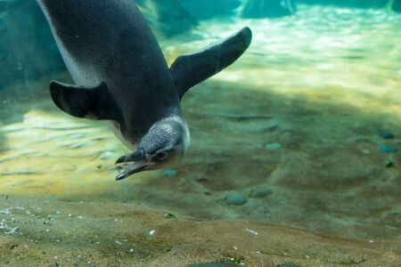 flightless: Black and white Magellanic penguin Spheniscus magellanicus is a flightless bird with wings that are like flippers. Found in South America. Stock Photo