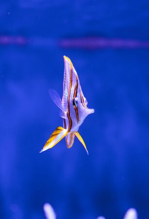 copperband butterflyfish: Copper-banded butterflyfish, Chelmon rostratus, in a reef aquarium