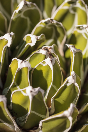 scientifically: Green with white tipped Queen Victoria agave known scientifically as Agave victoria-reginae is found in the Mexican desert. Stock Photo