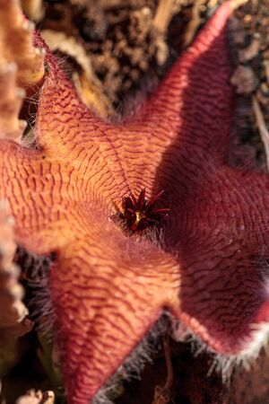 gigantea: Red flower blooms on a Stapelia gigantea cactus and is also called the starfish flower and grows in Africa