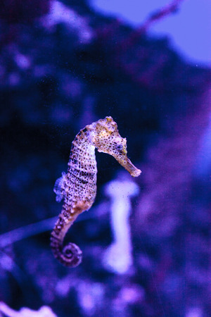 Longsnout seahorse known as Hippocampus reidi in a marine aquarium