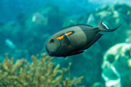 acanthurus: Orange shoulder tang fish, orangeshoulder, Acanthurus olivaceus, is found in the Indo-West Pacific