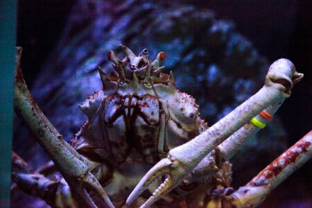 Giant spider crab known as Macrocheira kaempferi in an aquarium