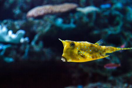 indo: Longhorn cowfish, Lactoria cornuta, is from the boxfish family and can be found in the Indo-Pacific. Stock Photo