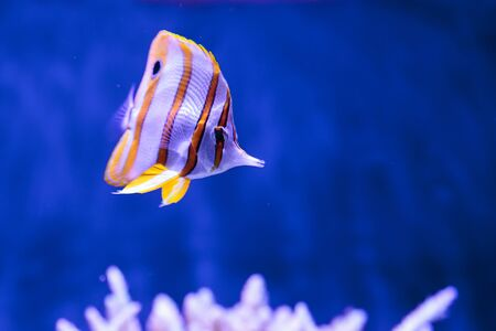 chelmon: Copper-banded butterflyfish, Chelmon rostratus, in a reef aquarium