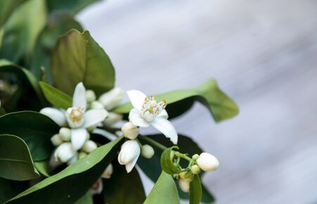 White fragrant orange blossom blooms in a glass vase on green leaves in the background in spring.