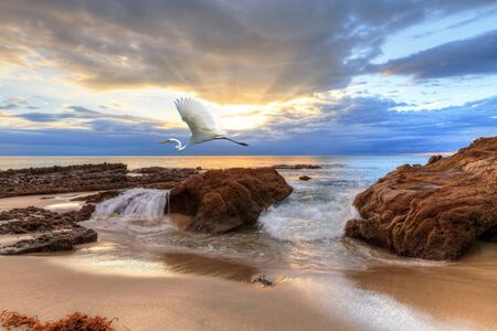 Sunset over the rocks at Pearl Street Beach with a great egret, Ardea alba, in Laguna Beach, California, USA