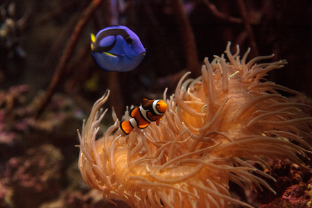 hepatus: Clownfish Amphiprioninae and royal blue tang Paracanthurus hepatus  staying close to a host anemone