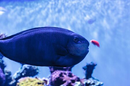 Bignose unicornfish known as Naso vlamingii in a coral reef Stock Photo