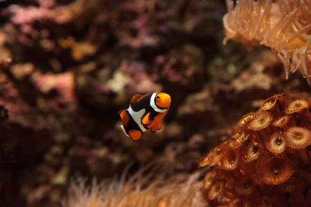 Clownfish, Amphiprioninae, in a marine fish and reef aquarium, staying close to its host anemone Stock Photo
