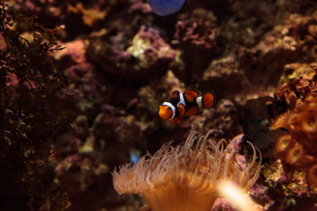 clownfish: Clownfish, Amphiprioninae, in a marine fish and reef aquarium, staying close to its host anemone Foto de archivo