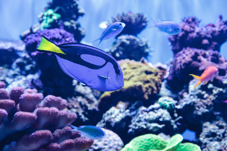 hepatus: Palette tang fish, Paracanthurus hepatus, is also called the royal blue tang and can be found on a tropical reef in the ocean. Stock Photo