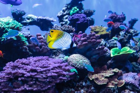 butterflyfish: Threadfin butterflyfish known as Chaetodon auriga in a coral reef.