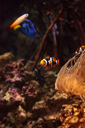 surgeonfish: Clownfish Amphiprioninae and royal blue tang Paracanthurus hepatus  staying close to a host anemone