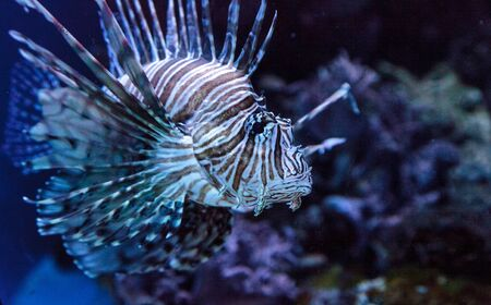 Lionfish Pterois volitans swims on a coral reef. Stock Photo