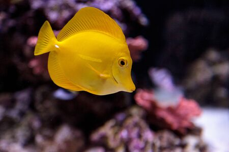 Yellow tang fish, Zebrasoma flavenscens, is a saltwater aquarium fish that is found in the Pacific and Indian Oceans in the wild