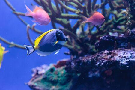 acanthurus leucosternon: Powderblue tang fish Acanthurus leucosternon on a coral reef.