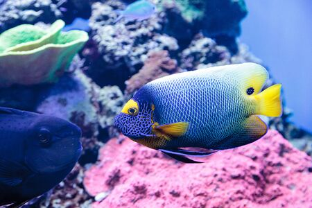 pomacanthus: Blue faced angelfish Pomacanthus xanthometopon in a coral reef. Stock Photo