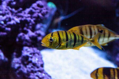 Golden Jack Gnathanodon speciosus swims in an aquarium. Stok Fotoğraf