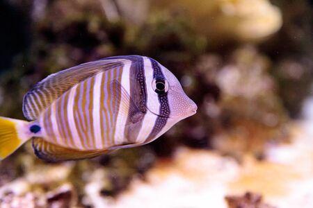 tang: Desjardini Sailfin tang Zebrasoma desjardini in a coral reef. Stock Photo