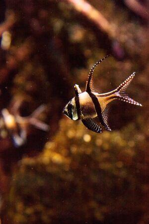 Banggai Cardinalfish Pterapogon kauderni in a mangrove swamp. Stok Fotoğraf