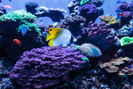 Threadfin butterflyfish known as Chaetodon auriga with a blue green Chromis fish in a coral reef