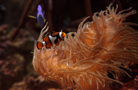paracanthurus: Clownfish Amphiprioninae and royal blue tang Paracanthurus hepatus  staying close to a host anemone