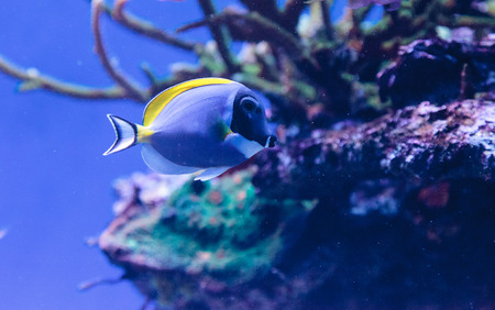 reef fish: Powderblue tang fish Acanthurus leucosternon on a coral reef.