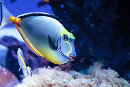 Naso tang fish known as Naso lituratus on a coral reef.