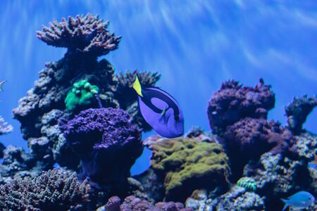 paracanthurus: Palette tang fish, Paracanthurus hepatus, is also called the royal blue tang and can be found on a tropical reef in the ocean. Stock Photo