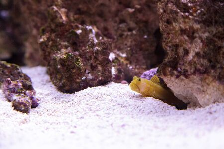 blue spotted: Blue Spotted Jawfish Opistognathus rosenblatti hides in its burrow in the sand in a coral reef.