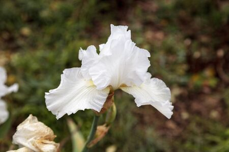 bearded iris: White bearded iris flower blooms in a botanical garden in Southern California