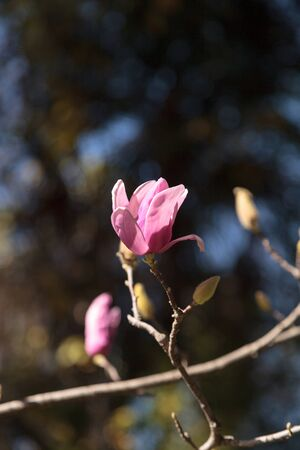 Pink magnolia flower on a Magnolia � soulangeana, also called the saucer magnolia, is a hybrid tree in the genus Magnolia.