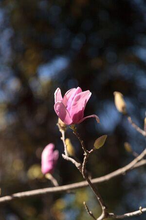 magnolia soulangeana: Pink magnolia flower on a Magnolia � soulangeana, also called the saucer magnolia, is a hybrid tree in the genus Magnolia.