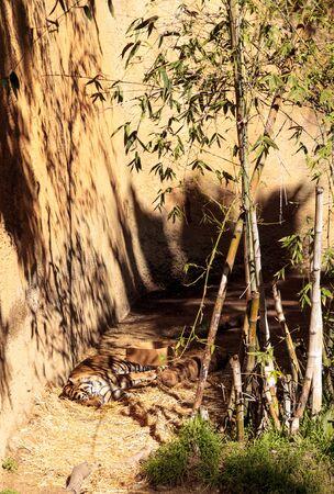 panthera tigris sumatrae: Sumatran tiger, Panthera tigris sumatrae, relaxes in the sun.