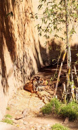 sumatran tiger: Sumatran tiger, Panthera tigris sumatrae, relaxes in the sun.