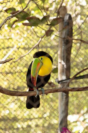 Colorful beak of the keel-billed toucan, Ramphastos sulfuratus, contains yellow, red, green, orange and blue.