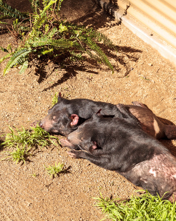 tasmanian: Tasmanian devil, Sarcophilus harrisii, brothers relax in the sun. In the wild, they are found in Tasmania.