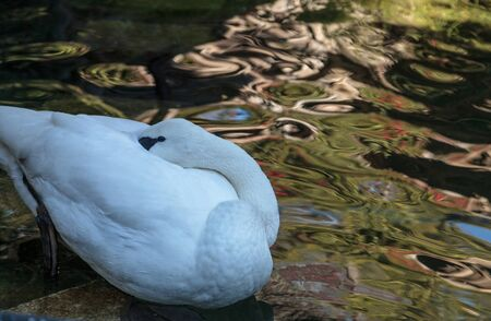 Trumpeter swan, Cygnus baccinator, has beautiful white feathers and a black bill, and can be found in tranquil ponds and lakes. Stock Photo