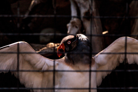 King vulture, Sarcoramphus papa, stands behind bars, spreading his wings.