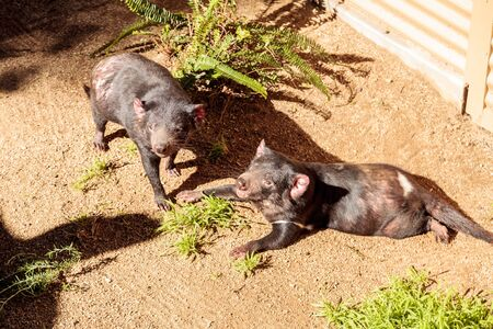 Tasmanian devil, Sarcophilus harrisii, brothers relax in the sun. In the wild, they are found in Tasmania.