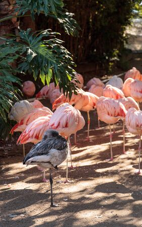 Adolescent gray Chilean flamingo, Phoenicopterus chilensis, in the middle of adult pink flamingos during breeding season.