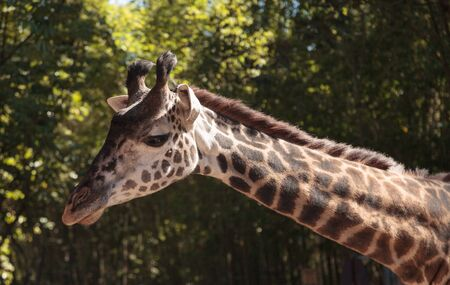 Giraffe are found in Africa and reach a height between 15 and 20 feet tall, with a very long neck.