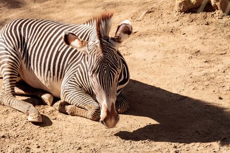 Grevys zebra, Equus grevyi, relaxes in the sun after a dust bath. Stock Photo