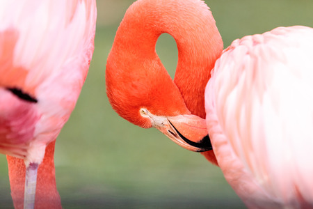 Pink Caribbean flamingo, Phoenicopterus ruber, in the middle of flock flamingos during breeding season.