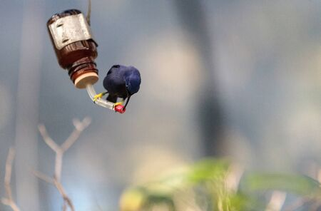 Purple honeycreeper known as Cyanerpes caeruleus can be found in western Columbia
