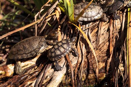 Pacific pond turtles known as Actinemys marmorata sun themselves on a rock in the middle of a pond Stock Photo