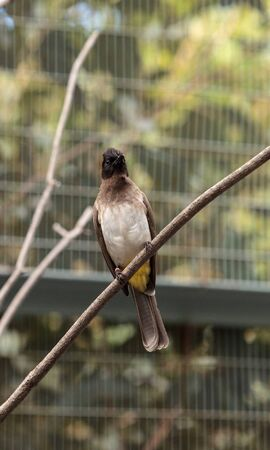 vented: White vented bulbul known as Pycnonotus barbatus has a black head and grey body Stock Photo