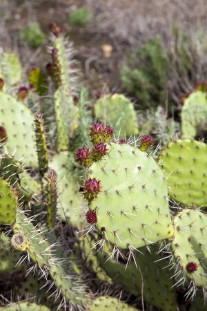 Green pads on a prickly pear cactus, which produces pink to red flowers (Opuntia ficus-indica) is also known as Indian fig opuntia, barbary fig, cactus pear and spineless cactus. Stock Photo